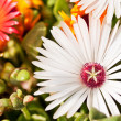 Close-up of white daisy — Stock Photo #5666879