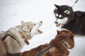 Three dog breeds husky grin at each other. — Stock Photo