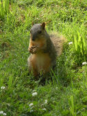 Squirrel standing and posing in the yard — Stock Photo