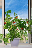 Tomato bush — Stock Photo