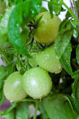 Green tomatoes in greenhouse — Stock Photo