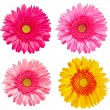 Gerber flowers — Stockfoto