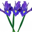 Purple iris - Foto Stock
