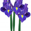 Purple iris — Foto Stock