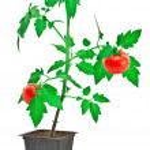 Tomato plant — Stock Photo #6373378