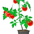 Tomato plant - Stock Photo