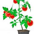 Tomato plant — Stock Photo #6578386
