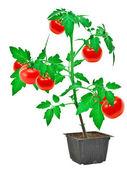 Tomatplantor — Stockfoto