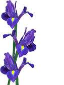 Purple iris flower — Stock Photo