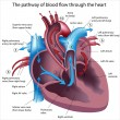 Blood flow through the heart - Stok Vektör