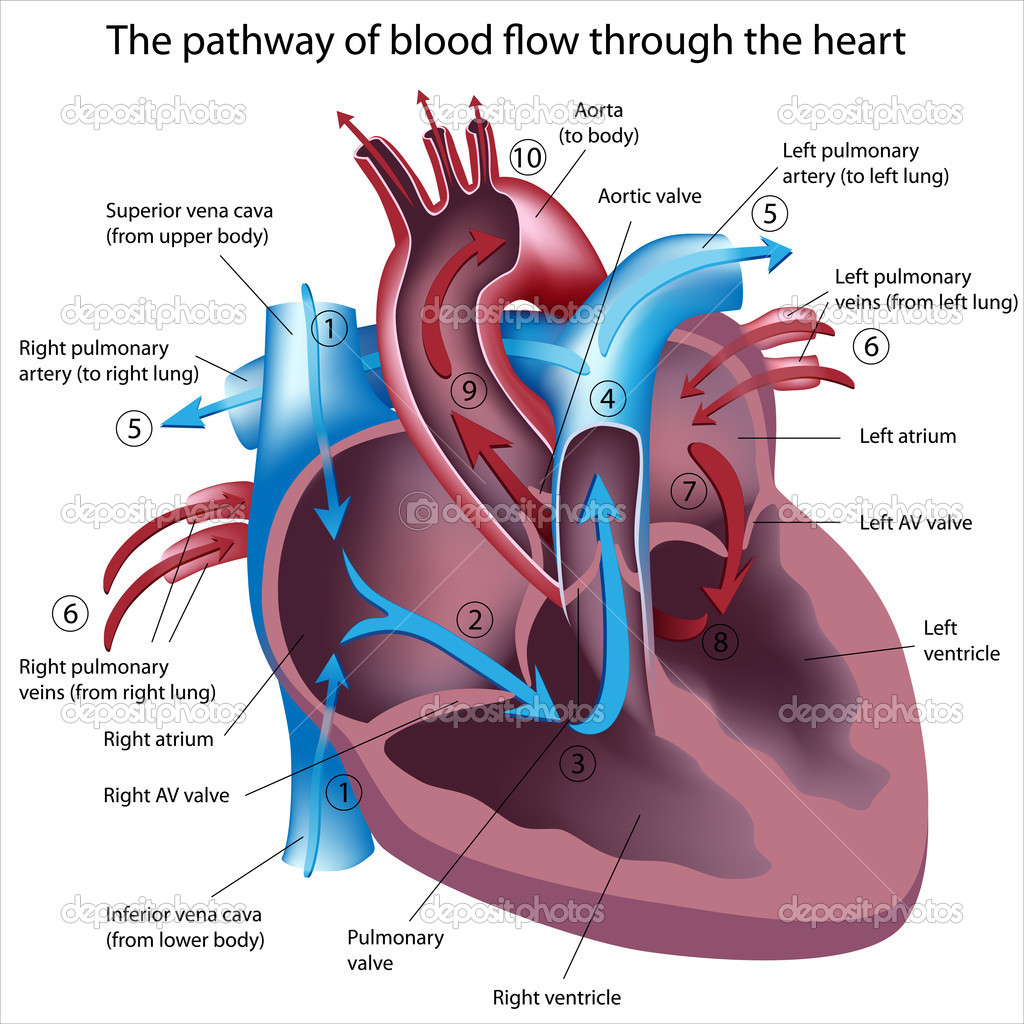 Cross section of the heart showing pathway of blood flow, eps8 — Stock Vector #5525378