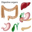 Digestive organs - Stock Vector
