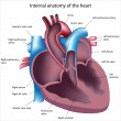 Heart anatomy - Vettoriali Stock