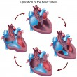 Royalty-Free Stock Vector Image: Heart valves operation