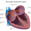 Electrical pathways of the heart — Stockvectorbeeld
