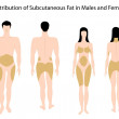 Royalty-Free Stock Vector Image: Subcutaneous fat distribution in human