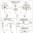 Types of Neurons - Stock Vector