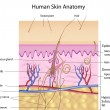Human skin anatomy — Vector de stock #5556009