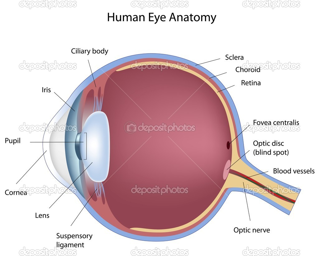 Cross section of human eye, eps8  Stock Vector #5660163