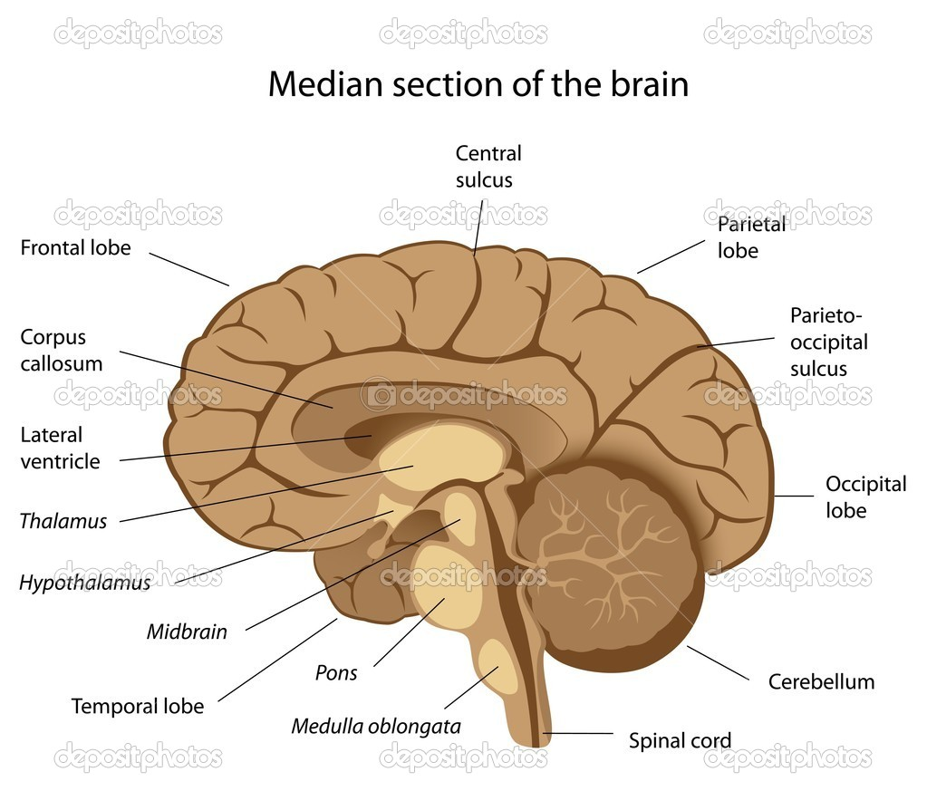 Median section of human brain with major parts labelled, eps8 — Stock Vector #5732428