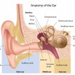Ear anatomy - Grafika wektorowa
