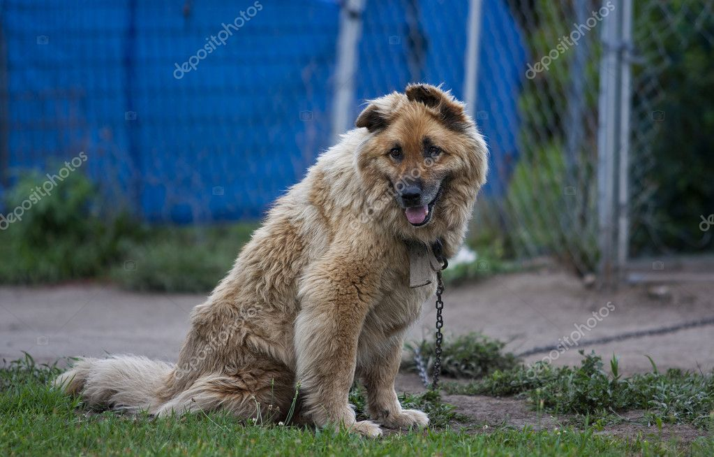 An outdoor mixed breed dog is chained outside — Stock Photo #6314051