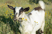 White goat in the country — Stock Photo