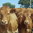 Stock Photo: Brown cows