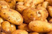 Farmer potatoes — Stock Photo