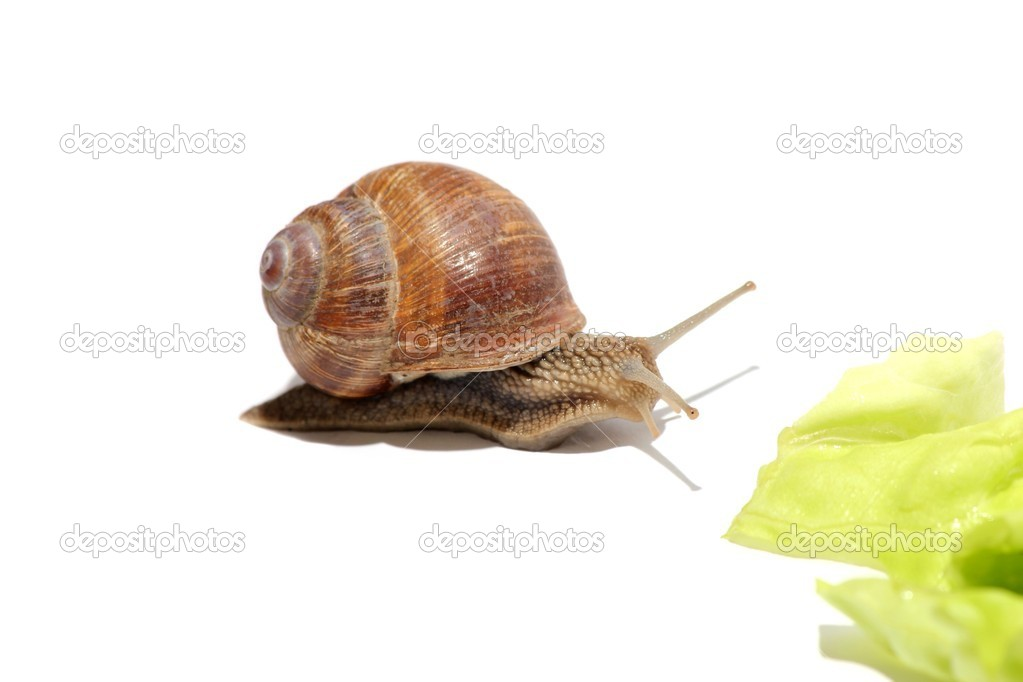 Sweet grapevine snail on lettuce — Stock Photo #5797166