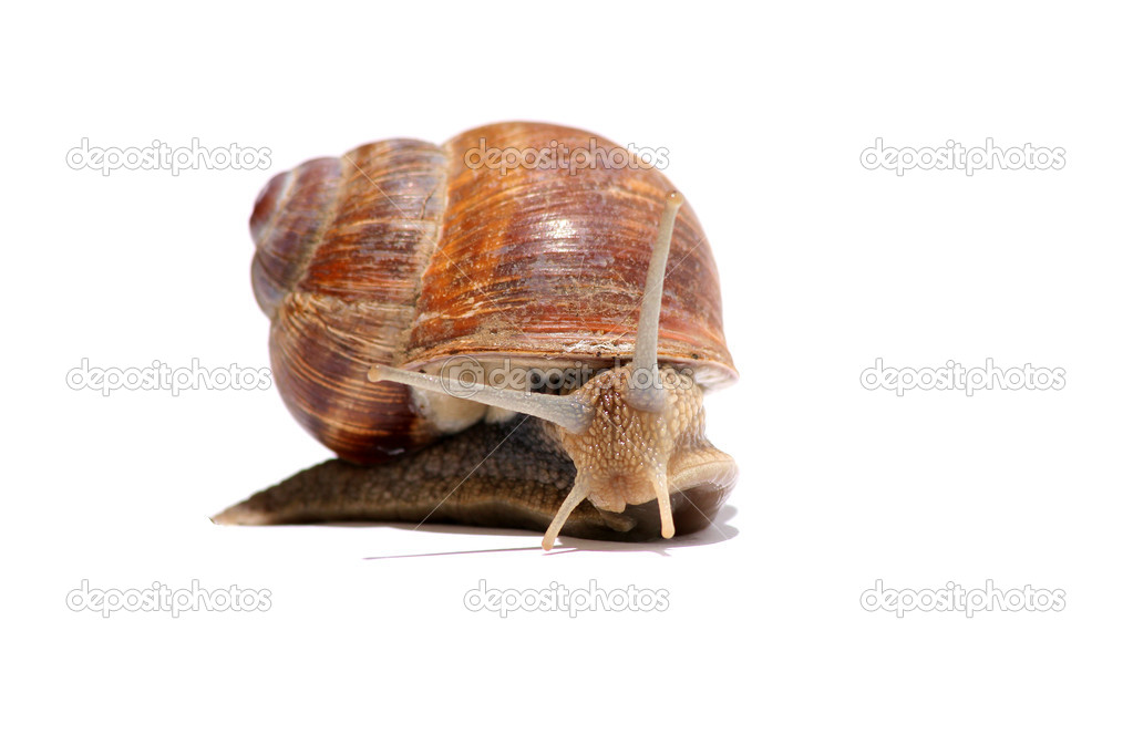 Sweet grapevine snail on lettuce  Stock Photo #5797186