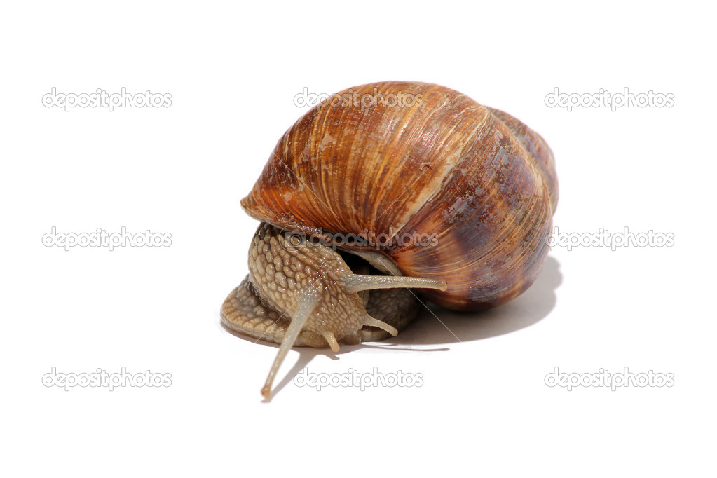 Sweet grapevine snail on lettuce — Stock Photo #5797205
