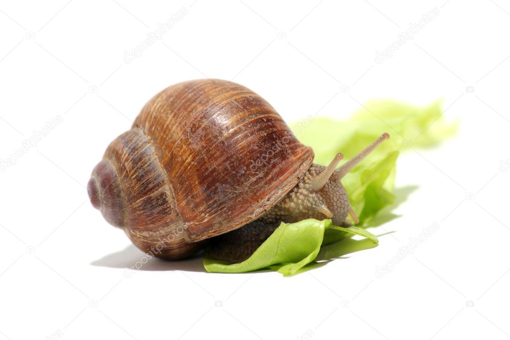 Sweet grapevine snail on lettuce  Stock Photo #5797260