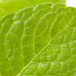 Stock Photo: Peppermint leaf