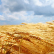 Stock Photo: Yellow wheat field