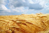 Yellow wheat field — Stock fotografie