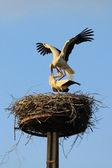 Stork mating — Stock Photo