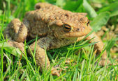 Toad in the grass — Stock Photo