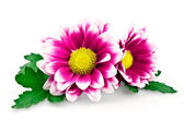 Hell lila chrysanthemen — Stockfoto