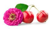 Krysantemum och mini äpplen — Stockfoto