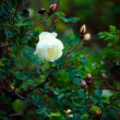 Stock Photo: White dogrose.