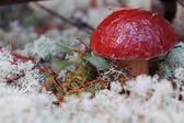 Cepe mushroom. — Stock Photo