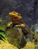 Lizard terrarium thailand tropical equator green gecko Bangkok Chinese Drag — Stock Photo