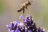 Bee on purple flowers — Stock Photo