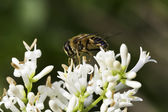Bee on white flowers — Stock Photo