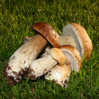Borowik szlachetny - boletus edulis - Stock Photo
