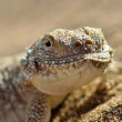 Stock Photo: Secret Toad-Headed Agama
