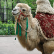 Camel in Almaty Zoo — Stock Photo
