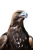 золотой орёл — Стоковое фото