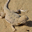 Secret Toad-Headed Agama — Stock Photo